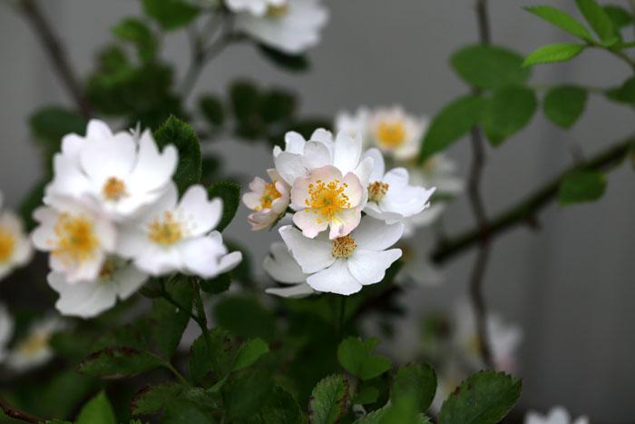 150622吉野川ノイバラ