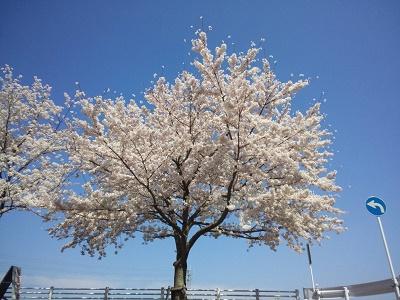 桜2015-5