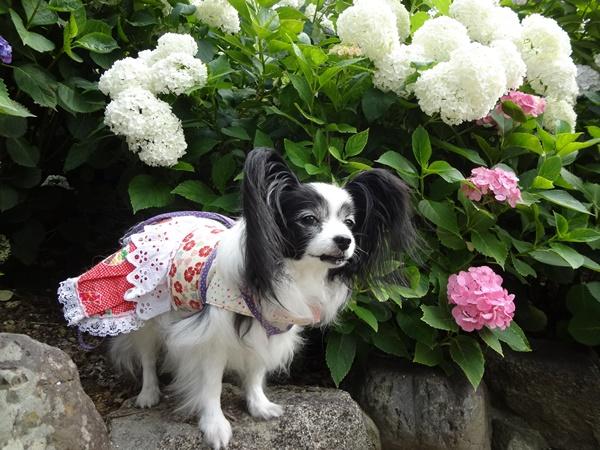 多宝塔前の白い紫陽花と(久米寺)