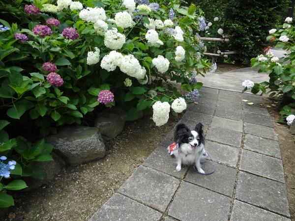 白い紫陽花と(久米寺)