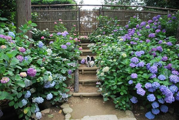 たくさんの紫陽花と(久米寺)