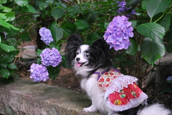 パープル紫陽花とルビー(久米寺)