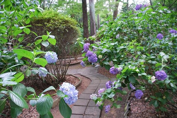 ブルーとパープルの紫陽花(久米寺)