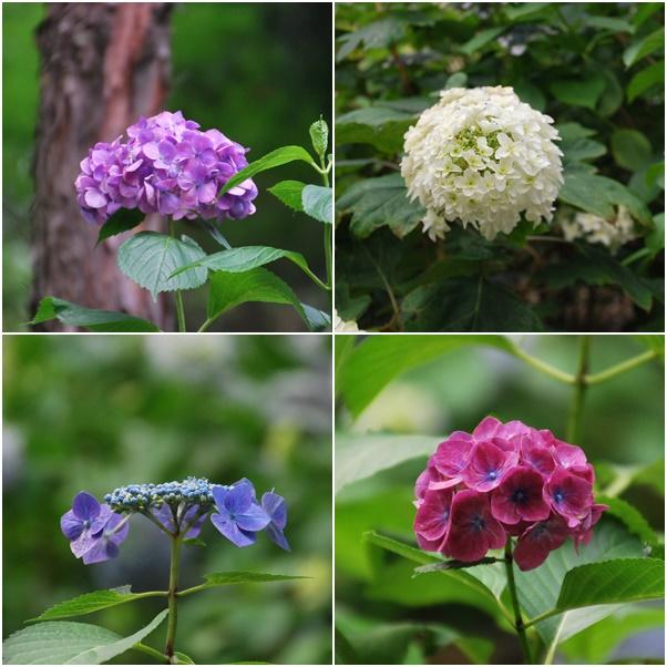 紫陽花(久米寺)