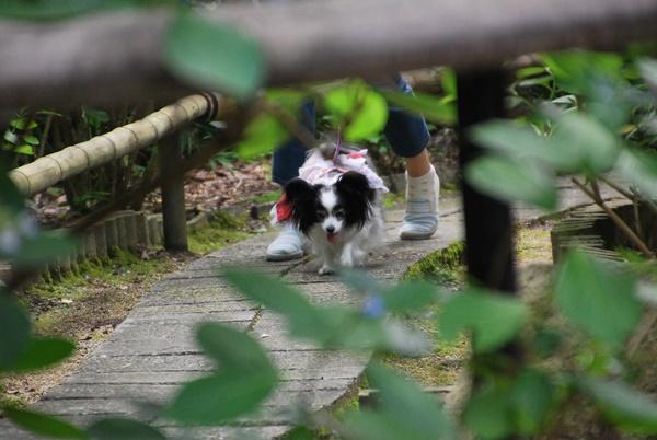 歩くルビー(久米寺)
