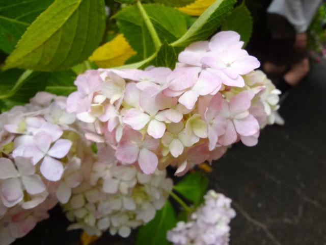 薄ピンクの紫陽花