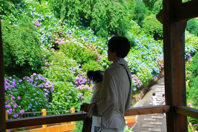 ルビーと眺める紫陽花