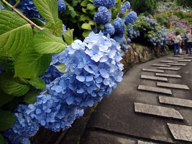 雨のしずくが光るブルーのあじさい
