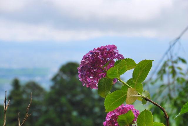 紫陽花越しの景色