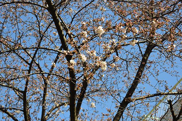 ソメイヨシノ咲いてた!