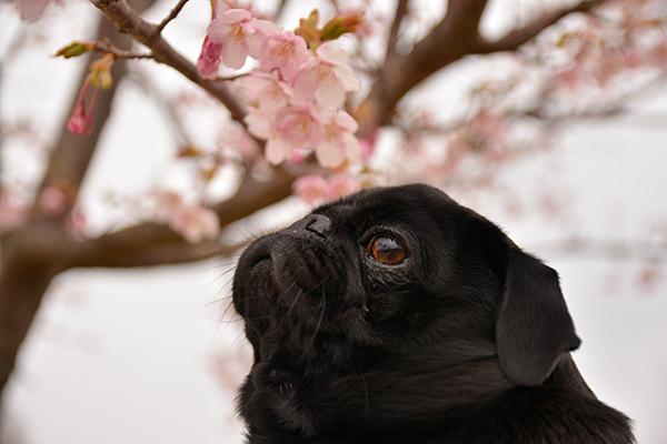 桜のニホヒ