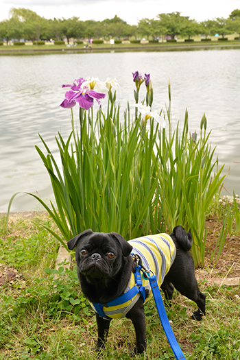 池のそばの菖蒲