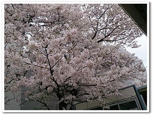 20150403桜a