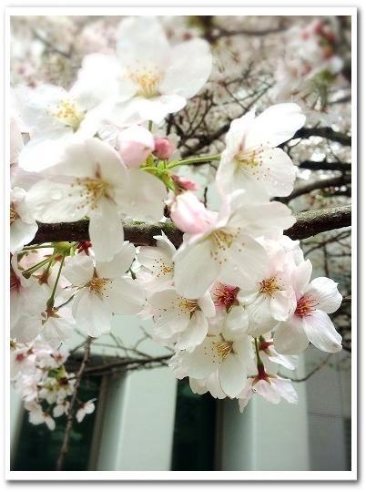 20150403桜b