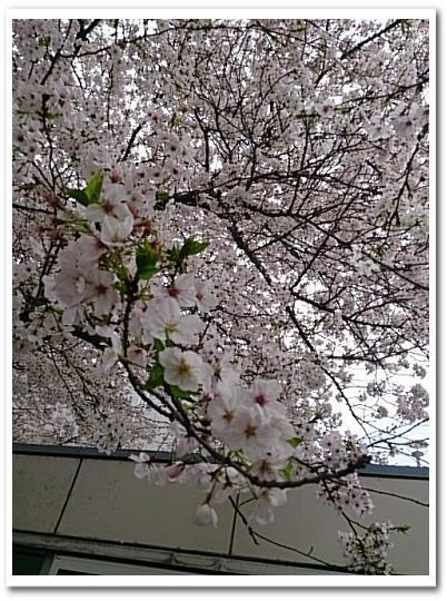 20150403桜c