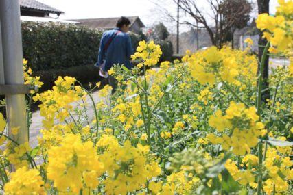 2015霧島菜の花と仁