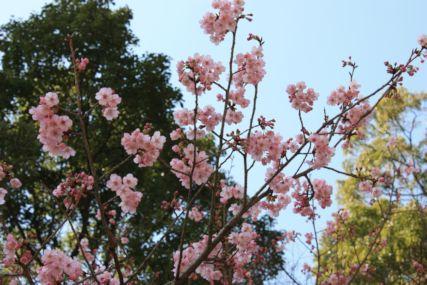 2015霧島桜開花