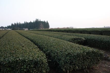 2015霧島茶畑