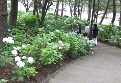八景島あじさい祭り2