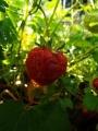fraise2015p1.jpg