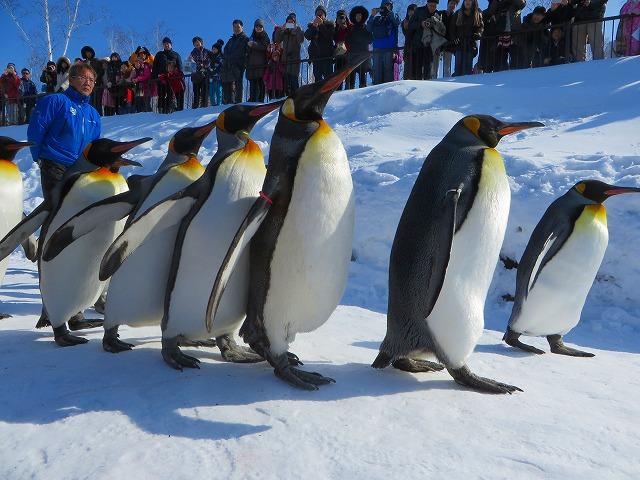 ペンギンの散歩 (4)