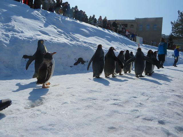 ペンギンの散歩 (5)