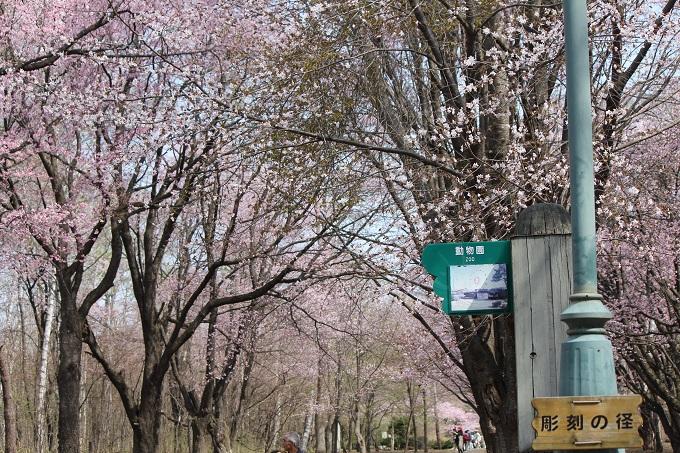 桜 (8)