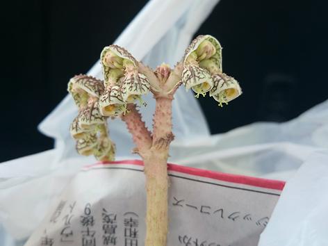 20150208echinulatum花