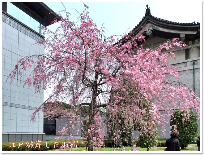 640P4103859a江戸彼岸しだれ桜s