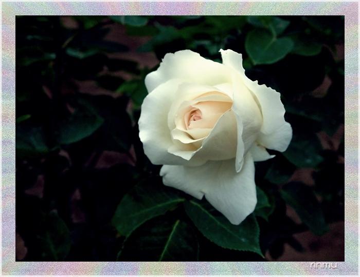 与野公園のバラ0