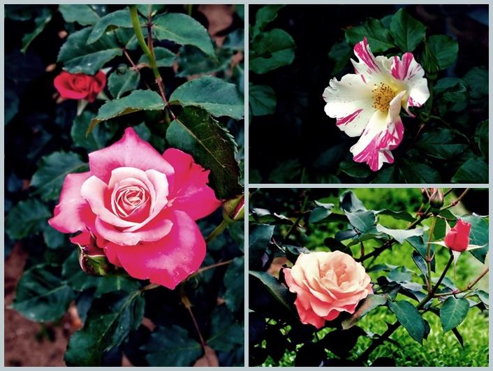 与野公園のバラ2