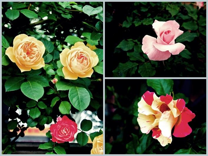 与野公園のバラ3