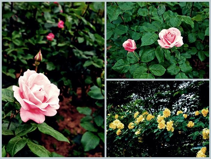 与野公園のバラ4