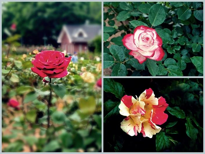 与野公園のバラ5