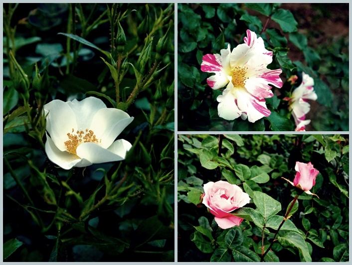 与野公園のバラ6