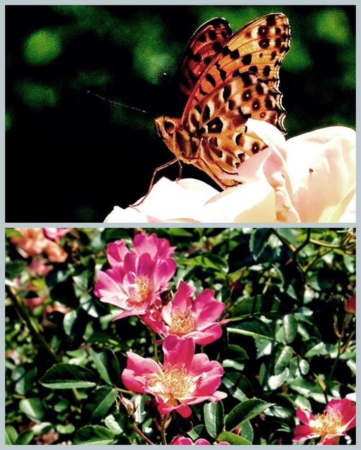 page蝶と薔薇