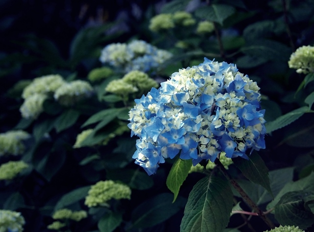 640P5207156咲き始めの紫陽花2