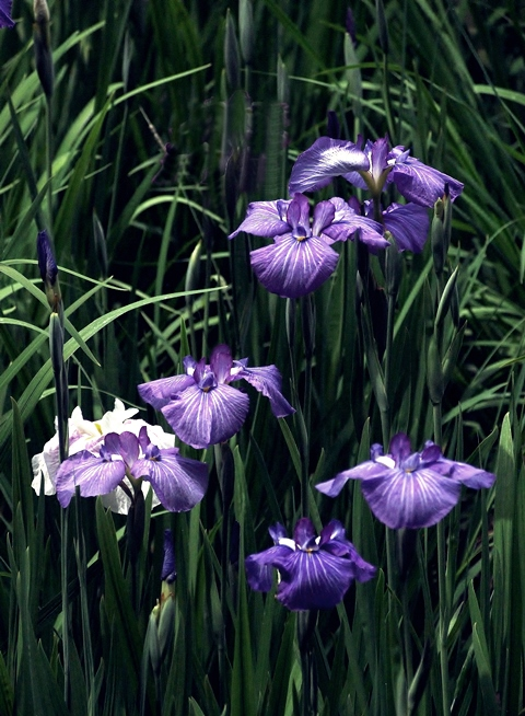 480P6028347s古典的な色の花菖蒲