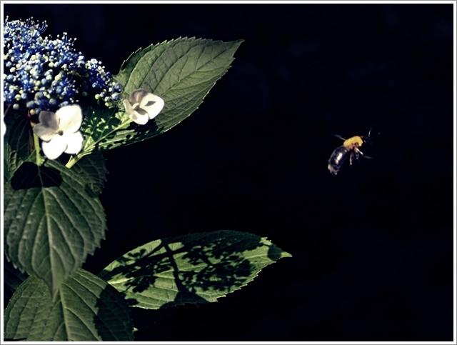 640s640P5318094キムネクマバチと紫陽花