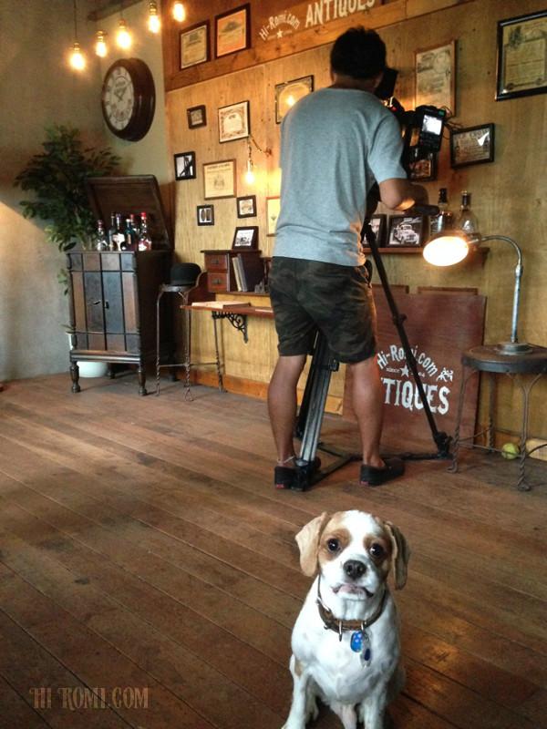 看板犬 キャバリア 小型犬 ちくわ ココ アンティーク照明 ショップ