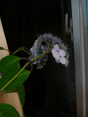 紫陽花 007