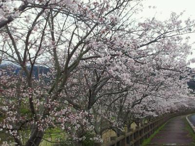 職場の前の桜