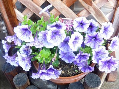 玄関の花4