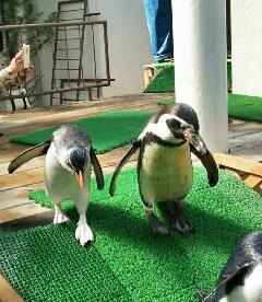 20150329-ICOCA ペンギンさん (5)-加工