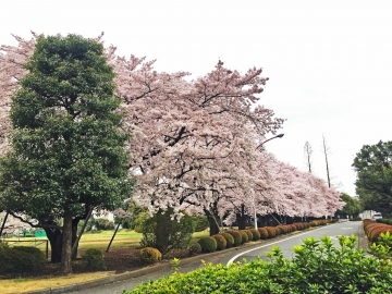 20150402-昼間のお花見 (1)-加工