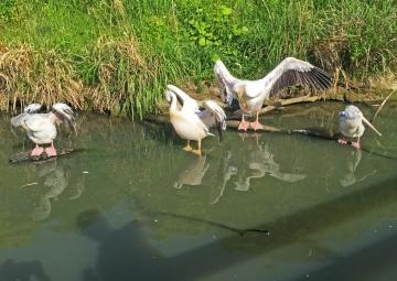 20150502-花鳥園10-ハクチョウの池とペリカンの池 (23)-加工