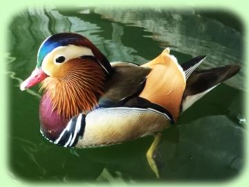 20150502-花鳥園3-オシドリの池 (1)-加工2