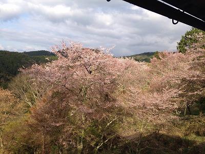 吉野千本桜7