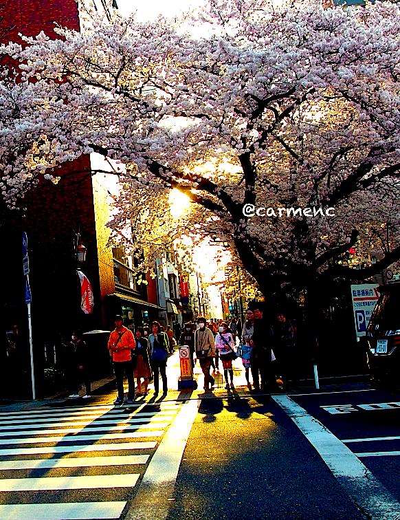 富士見通から桜と夕日影の横断歩道