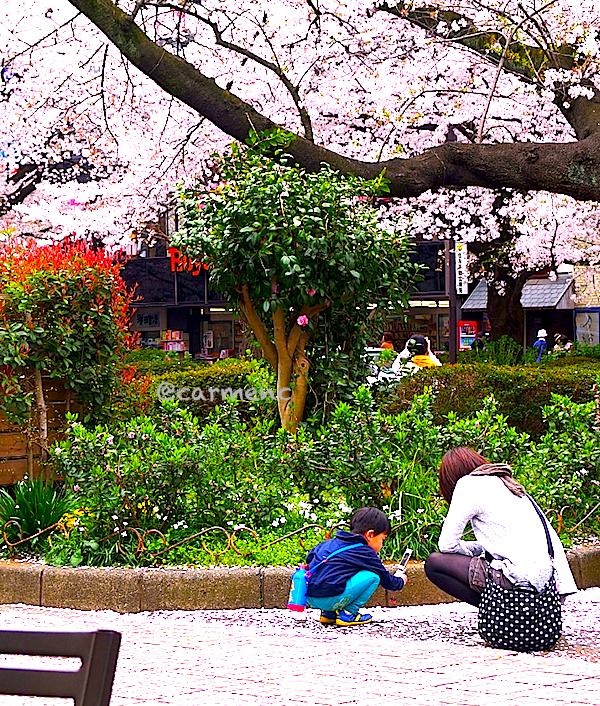 散る桜を携帯で撮る今時の男児